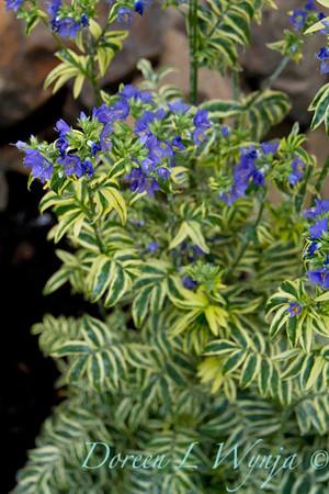 Polemonium caeruleum Brise D'Anjou_013