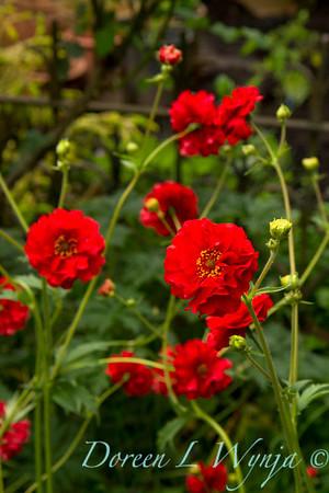 Geum chiloense Red Dragon_001
