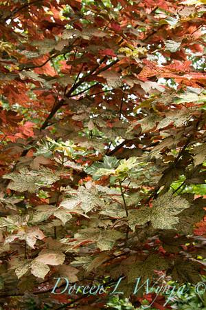 Acer pseudoplatanus Eskimo Sunset_031