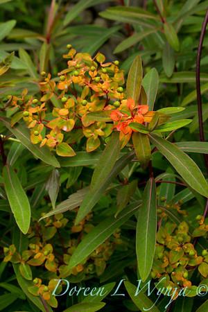 Euphorbia griffithii Fireglow_030