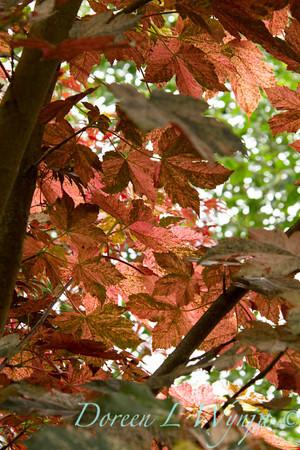 Acer pseudoplatanus Eskimo Sunset_028