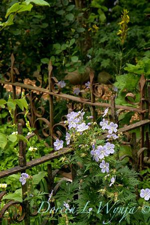 Geranium pratense Mrs  Kendall Clarke_004