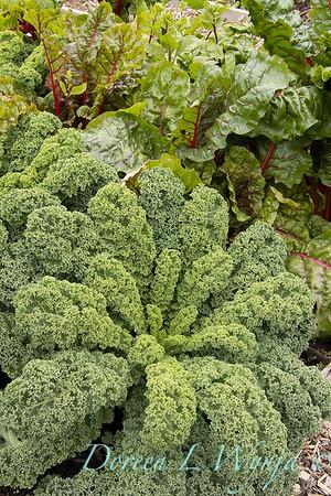 Brassica oleracea 'Westland Winter'_6237