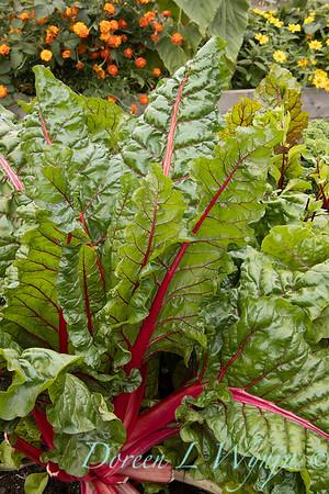 Beta vulgaris subsp  cicla var  flavescens_6500