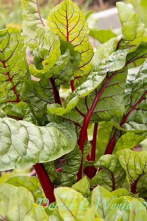 Beta vulgaris subsp  cicla var  flavescens_6497