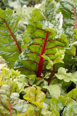 Beta vulgaris subsp  cicla var  flavescens_6494