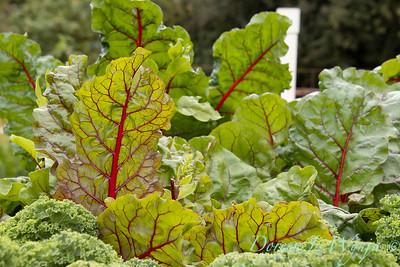 Beta vulgaris subsp  cicla var  flavescens_6499