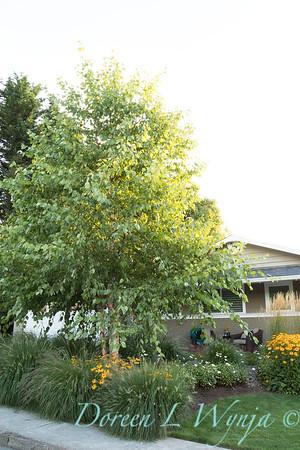 Betula nigra 'Cully' - Rudbeckia fulgida var  sullivantii 'Goldsturm' - Pennisetum alopecuroides 'Hameln' - Calamagrostis x acutiflora 'Karl Foerster' - front yard_0567