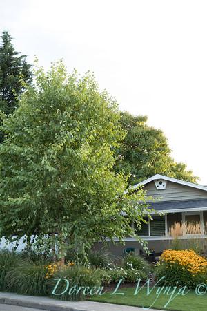 Betula nigra 'Cully' - Rudbeckia fulgida var  sullivantii 'Goldsturm' - Pennisetum alopecuroides 'Hameln' - Calamagrostis x acutiflora 'Karl Foerster' - front yard_0566