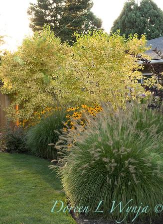 Pennisetum alopecuroides 'Hameln' - Rudbeckia fulgida var  sullivantii 'Goldsturm' - Amelanchier alnifolia 'Autumn Brilliance'_0564