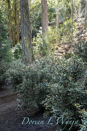Drimys lanceolata planting_3162