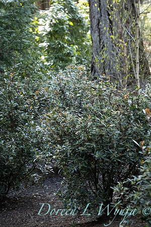 Drimys lanceolata planting_3164