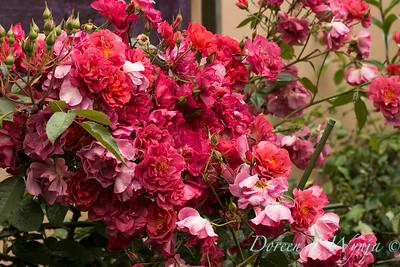 Rosa floribunda 'WEKcobeju' Cinco de Mayo_1440