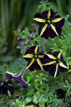 Petunia 'Phatom'_2140