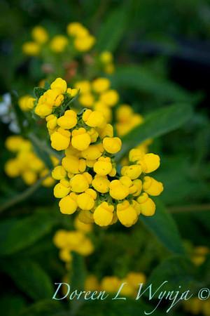 Calceolaria integrifolia_004