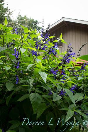 Salvia guaranitica Black and Blue_026
