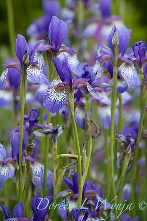 Iris sibirica 'Carrie Lee'_2045