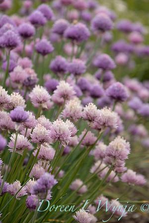 Allium schoenoprasum 'Forescate'_1896