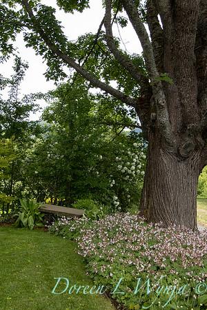 Geranium x cantabrigiense 'Biokovo' mass planting under a tree_2003