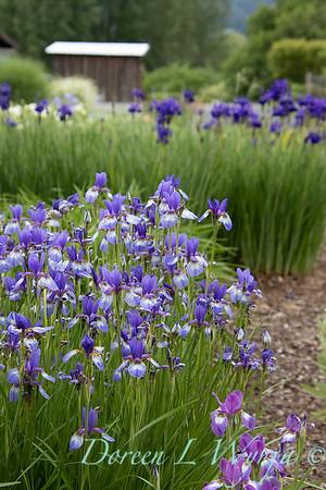 Iris sibirica 'Carrie Lee'_2039