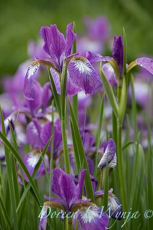 Iris sibirica 'Carrie Lee'_2044