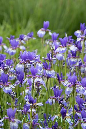 Iris sibirica 'Carrie Lee'_2040