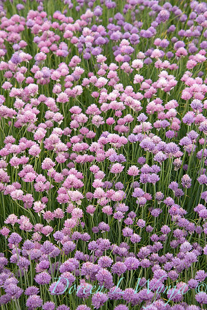 Allium schoenoprasum 'Forescate'_1897
