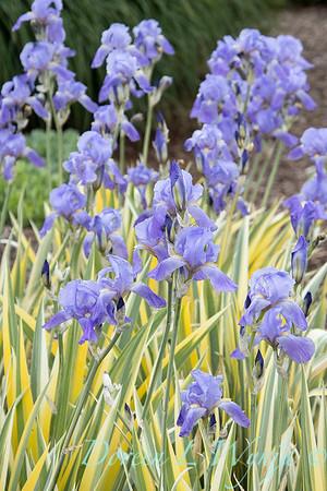 Iris pallida 'Aureo Variegata'_2030