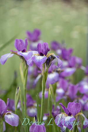 Iris sibirica 'Carrie Lee'_2042
