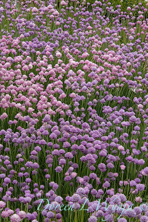 Allium schoenoprasum 'Forescate'_1888