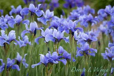 Iris sibirica 'Dancing Nanou'_1968