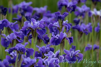 Iris sibirica 'Ruffled Velvet'_2048