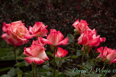 Rose_8361