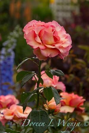 Rose_8378