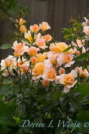 Rose_8370