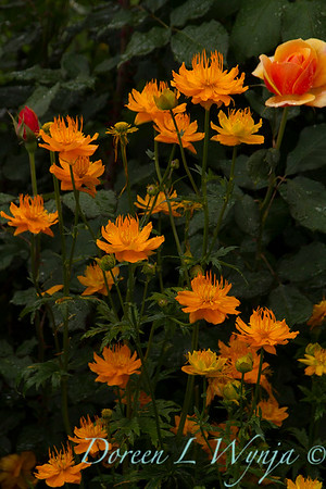 Trollius x cultorum 'Orange Princess'_8388