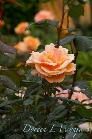 Rose_8375
