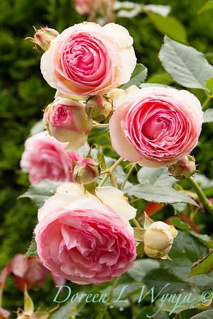 Rose_8365