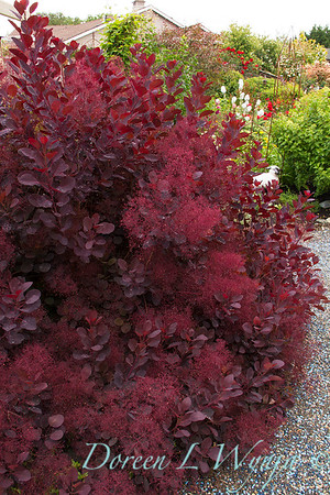 Cotinus coggygria Royal Purple_8419