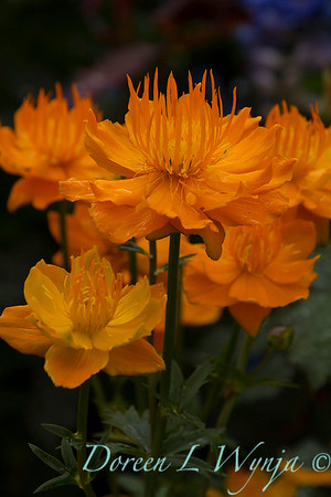 Trollius x cultorum 'Orange Princess'_8385