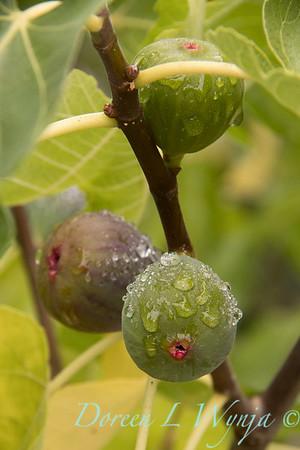 Ficus carica 'Black Jack'_4440