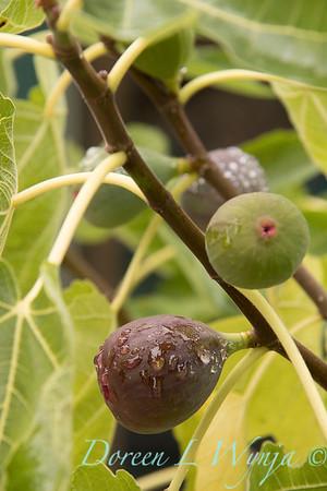 Ficus carica 'Black Jack'_4443
