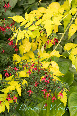Fuchsia 'David'_3091