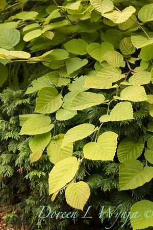Corylopsis pauciflora 'Aurea'_3101