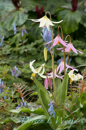Erythronium revolutum and E oregonum wetlands garden_1857