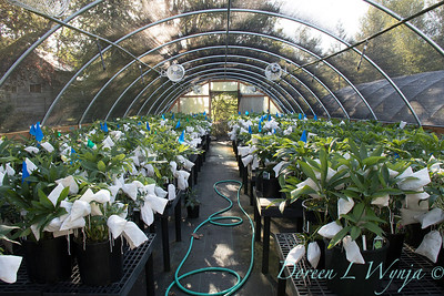 Helleborus with seed bags_4439