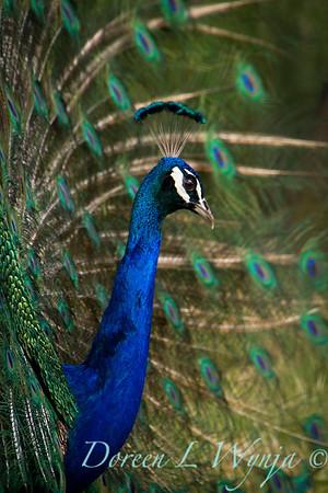 Pavo cristatus - male Peacock_0122