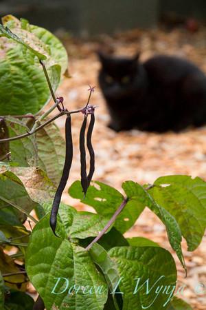 Phaseolus purple string bean_3921