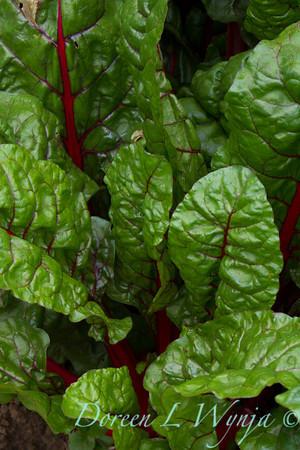 Beta vulgaris subsp  cicla - Urban vegetable garden_3675
