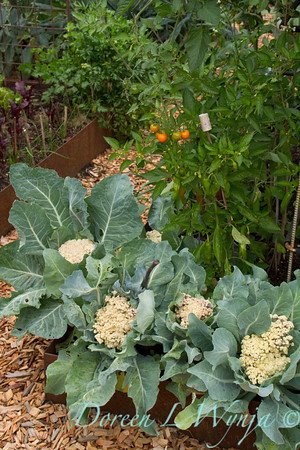 Brassica oleracea_3913